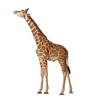 Żyrafa somalijska, powszechnie znana jako żyrafa siatkowa, żyrafa camelopardalis reticulata, 2 i pół roku stojąca na białej powierzchni
