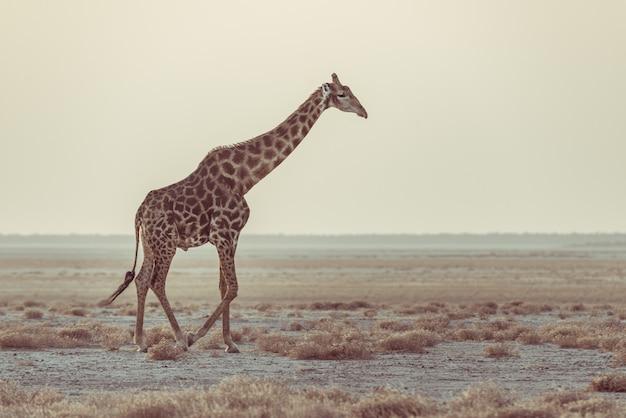 Żyrafa spaceru w buszu na pustynnej patelni o zachodzie słońca. wildlife safari w parku narodowym etosha, główny cel podróży w namibii, afryka. widok profilu, malownicze miękkie światło.
