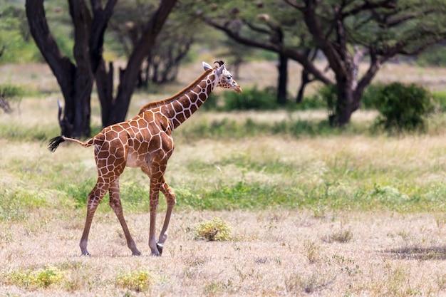 Żyrafa spaceruje po sawannie między roślinami