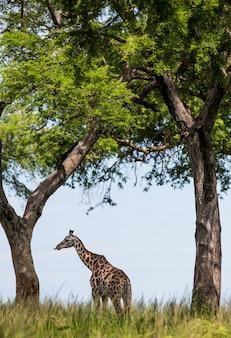 Żyrafa stoi pod wielkim drzewem na sawannie.