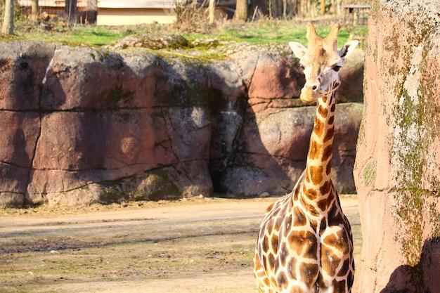 Żyrafa stoi w parku otoczonym trawą