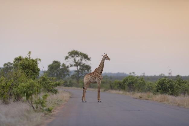 Żyrafa stojąca na pustej drodze