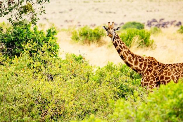 Żyrafa w afrykańskiej sawannie. park narodowy masai mara, kenia. krajobraz afryki.