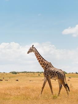 Żyrafa w afrykańskiej sawannie, w masai mara, kenia