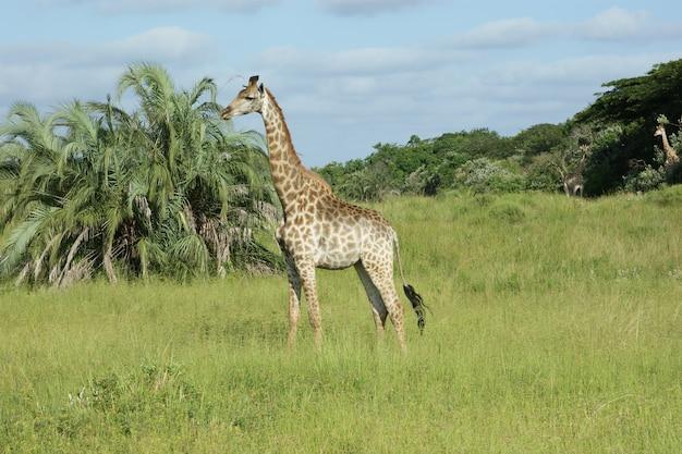 Żyrafa w drzewach