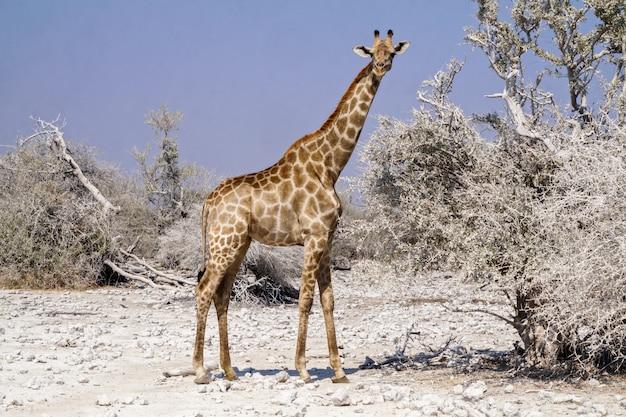 Żyrafa w etosha parku narodowym, namibia