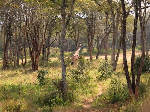 Żyrafa w kenii afryka