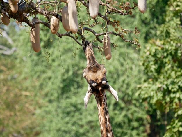 Żyrafa w parku narodowym south luangwa - zambia