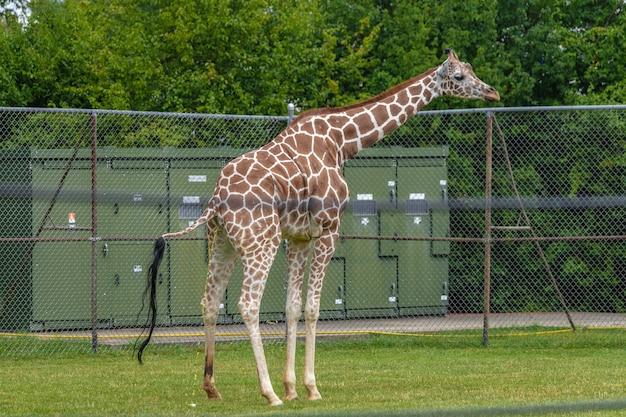 Żyrafa w polu otoczonym metalowymi płotami i zielenią w zoo