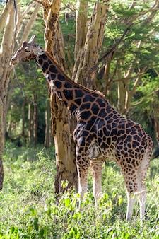 Żyrafa w środowisku naturalnym