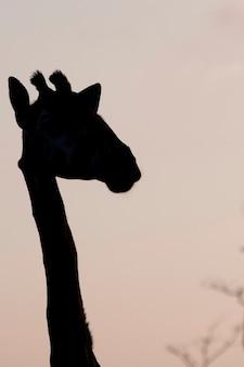 Żyrafa w sylwetce