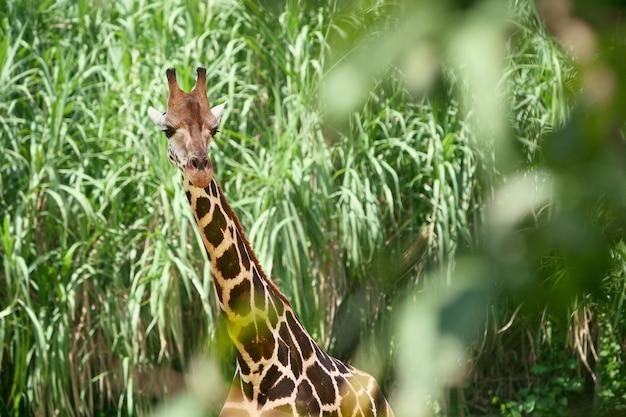 Żyrafa w zielonym zaroślach, długiej szyi i zaciekawionej buzi