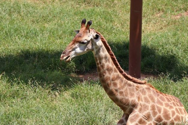 Żyrafa w zoo