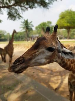 Żyrafa wygląda, słucha i wyciąga rękę, aby zjeść tło w rozmytym tle
