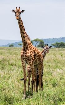 Żyrafa z dzieckiem na sawannie