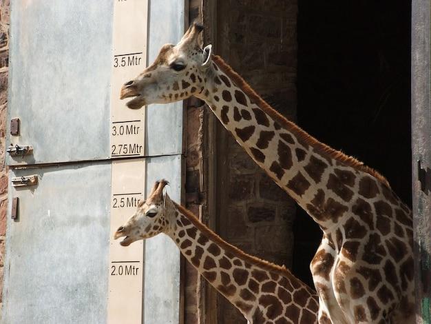 Żyrafa zwierzęta wysoki młody ssaki zoo zwierzę