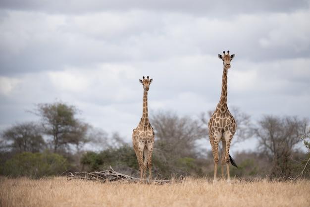 Żyrafy chodzą po krzaku z zachmurzonym niebem