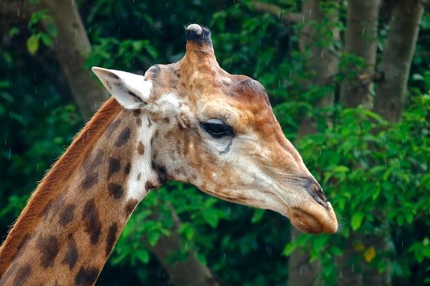 Żyrafy głowa zamyka w górę zoo w thailand