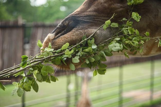 Żyrafy jedzą pokarm, który karmią ludzie