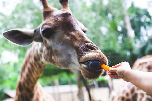 Żyrafy łasowania marchewka od turysta ręki w zoo
