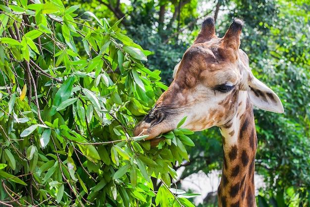 Żyrafy łasowanie opuszcza od drzewa w naturze