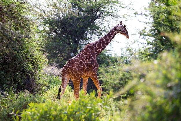Żyrafy między drzewami akacji na sawannie kenii