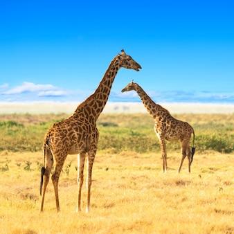 Żyrafy na afrykańskiej sawannie.