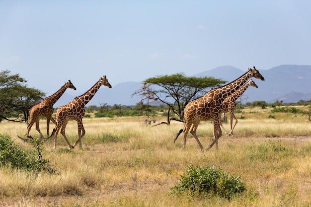 Żyrafy na sawannie kenii z wieloma drzewami i krzewami w tle