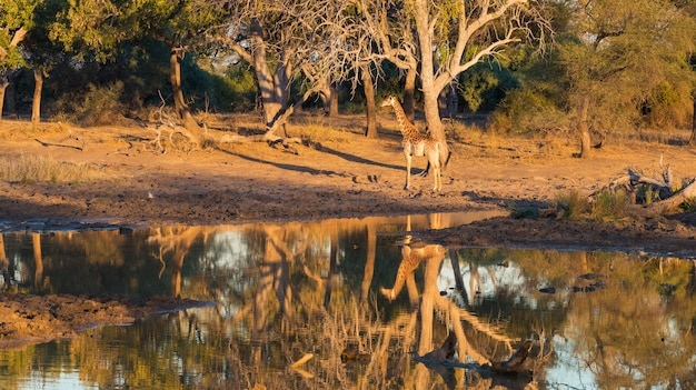 Żyrafy odprowadzenie w kierunku waterhole przy zmierzchem. wildlife safari w parku narodowym mapungubwe, afryka południowa. malownicze miękkie ciepłe światło.