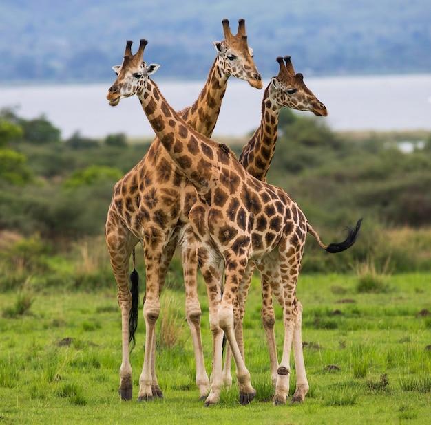 Żyrafy stoją na tle nilu.