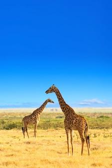 Żyrafy w afrykańskiej sawannie. park narodowy masai mara, kenia.