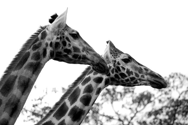 Żyrafy w kenii