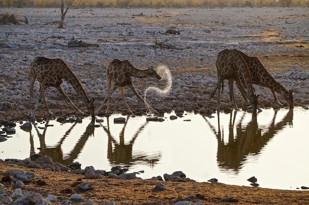 Żyrafy w parku narodowym etosha