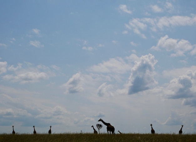 Żyrafy w parku narodowym masai mara - kenia