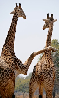 Żyrafy w parku narodowym south luangwa - zambia