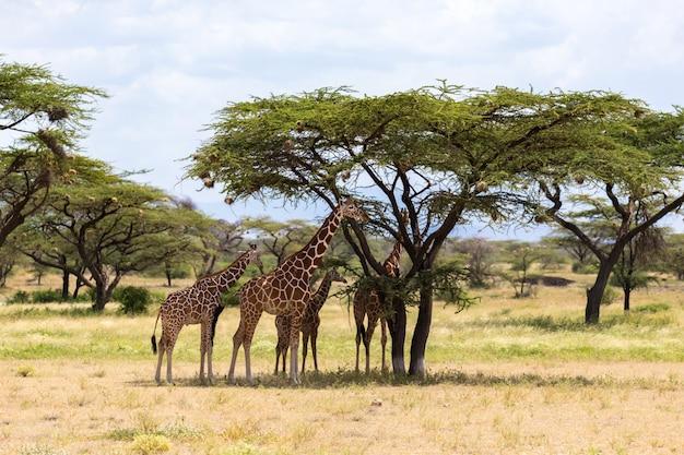Żyrafy zjadają liście z drzew akacji