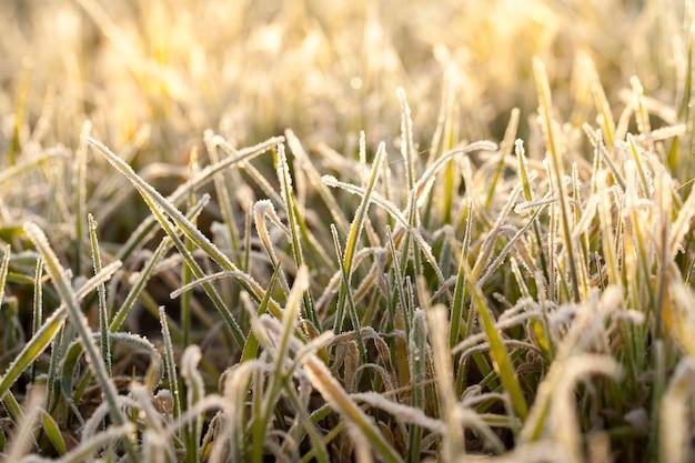 Żyto ozime lub pszenica ozima pokryta kryształkami lodu i szronem podczas zimowych przymrozków, trawa na polach uprawnych