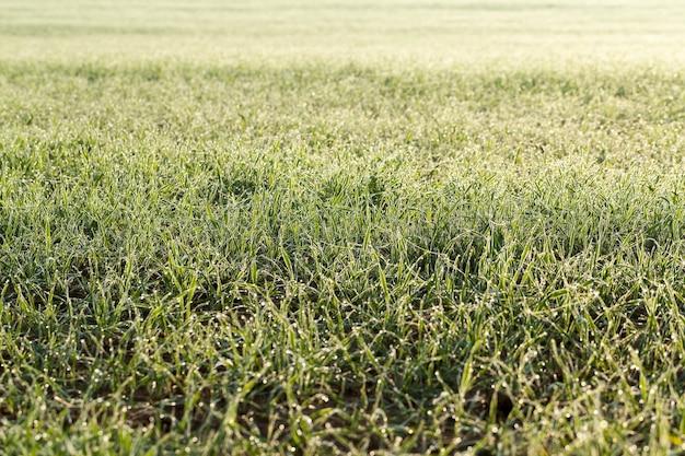 Żyto ozime lub pszenica ozima pokryta kryształkami lodu i szronem podczas zimowych przymrozków, trawa na rolnym zbliżeniu, plon