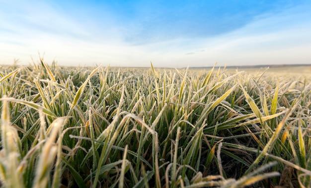 Żyto ozime lub pszenica ozima pokryta kryształkami lodu i szronem podczas zimowych przymrozków, trawa na zbliżeniu pola uprawnego, plon na polu