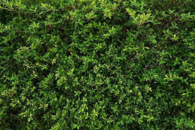 Żywa ściana z krzaka. zielone tło.