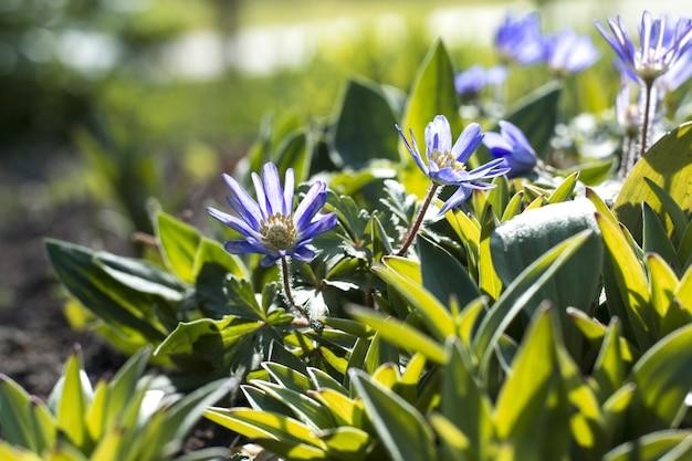 Żywe jasne fioletowe kwiaty rozmyte tło