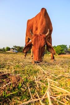 Żywienie bydła na terenach wiejskich dla rolnictwa.