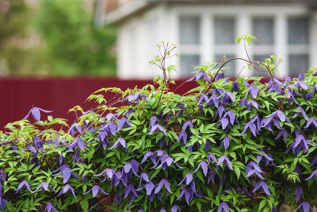 Żywopłot kwitnących fioletowych powojników alpejskich obok letniego domku