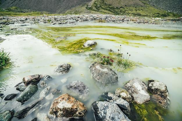 Żywy alpejski krajobraz z pięknymi różowymi kwiatami rhodiola algida wśród kamieni w wodzie podmokłego górskiego jeziora. jasna górska sceneria z dziką roślinnością wyżyn w bagnistym górskim jeziorze.