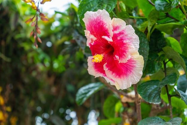 Żywy, bogaty w kolory kwiat hibiskusa z bliska.