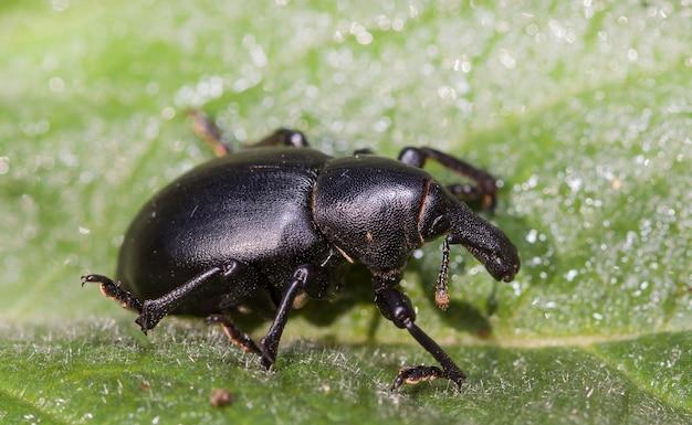 Żywy chrząszcz ziemny