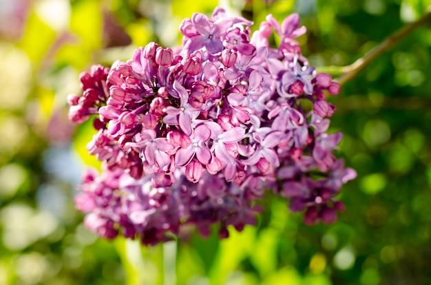 Żywy fioletowy liliowy kwitnący w wiosennym ogrodzie w maju wiosenna tapeta