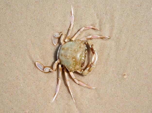 Żywy krab na piaszczystym brzegu morza czarnego, widok z góry, ukraina