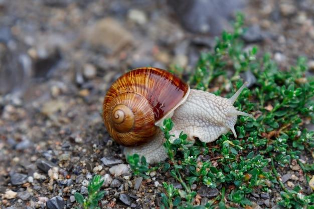 Żywy ślimak do wina czołga się po trawie po deszczu. duża skręcona mokra skorupa, macki wysunięte do góry. zbliżenie. selektywne ustawianie ostrości