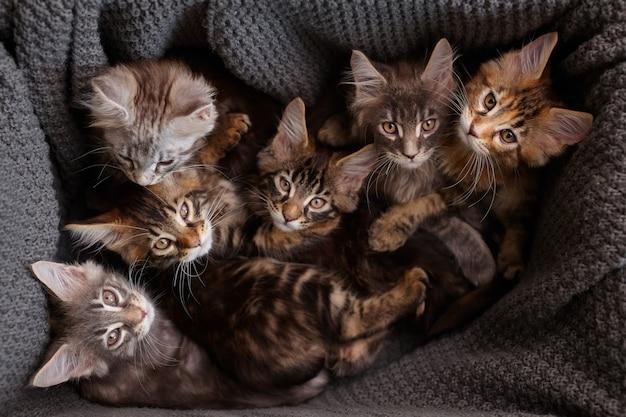 6 gatitos maine coon multicolores en una caja con una mirada a cuadros gris a la cámara, vista superior